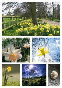 walk daffodils 0315